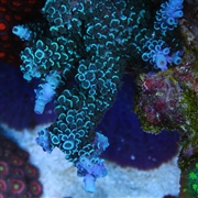Blue Matrix Acropora