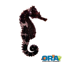 Which Foods Does a Sea Horse Eat?